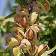نمونه بادام از نهالستان برگ سبز