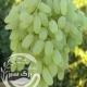 نهال انگور پیکامی