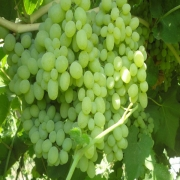 نهال انگور خلیلی