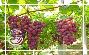 نهال انگور فخری
