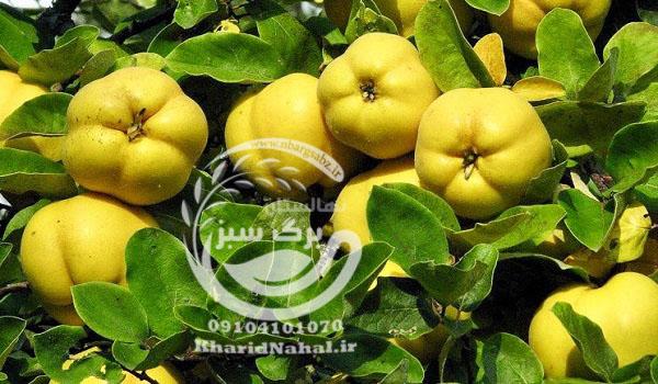 نهال به اصفهان