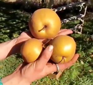 گلابی پرتغالی