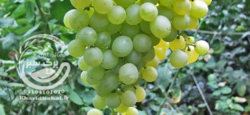 نهال انگور تامسون سیدلس