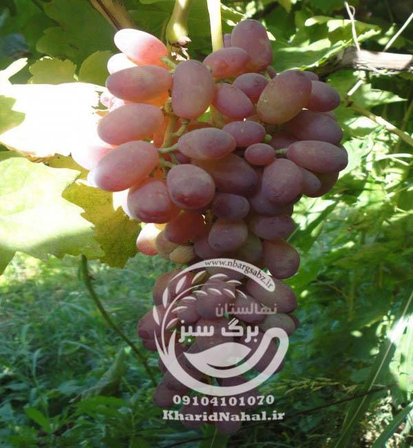 نهال انگور تبرزه