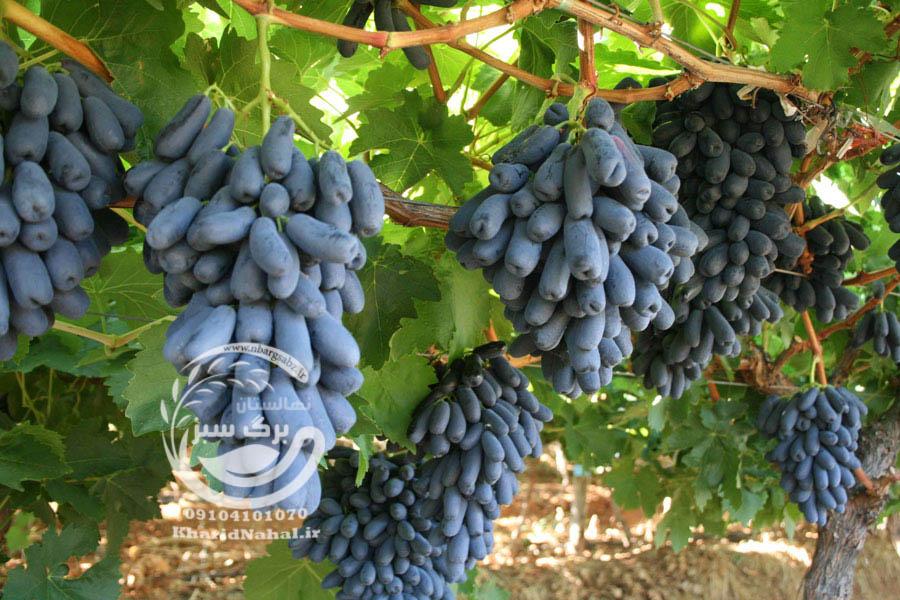 نهال انگور موندراپ پیوندی