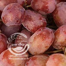 نهال انگور کندوری