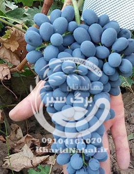 نهال انگور ازبک