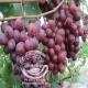 نهال انگور اندونزی