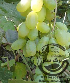 نهال انگور حسینی