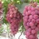 نهال انگور شانی