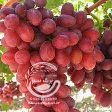 نهال انگور پرنس
