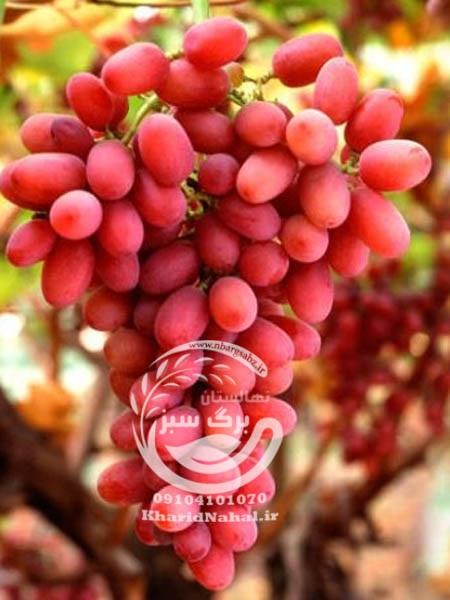 نهال انگور کریسمون سیدلس