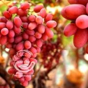 نهال انگور کریسمون
