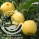 نهال سیب زرد فرانسه