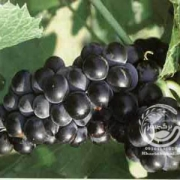 نهال انگور بلک سیدلس