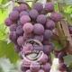 نهال انگور لاولاو