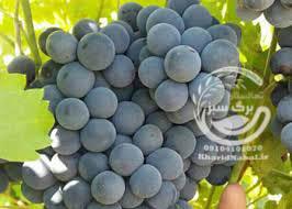 نهال انگور ویتیس