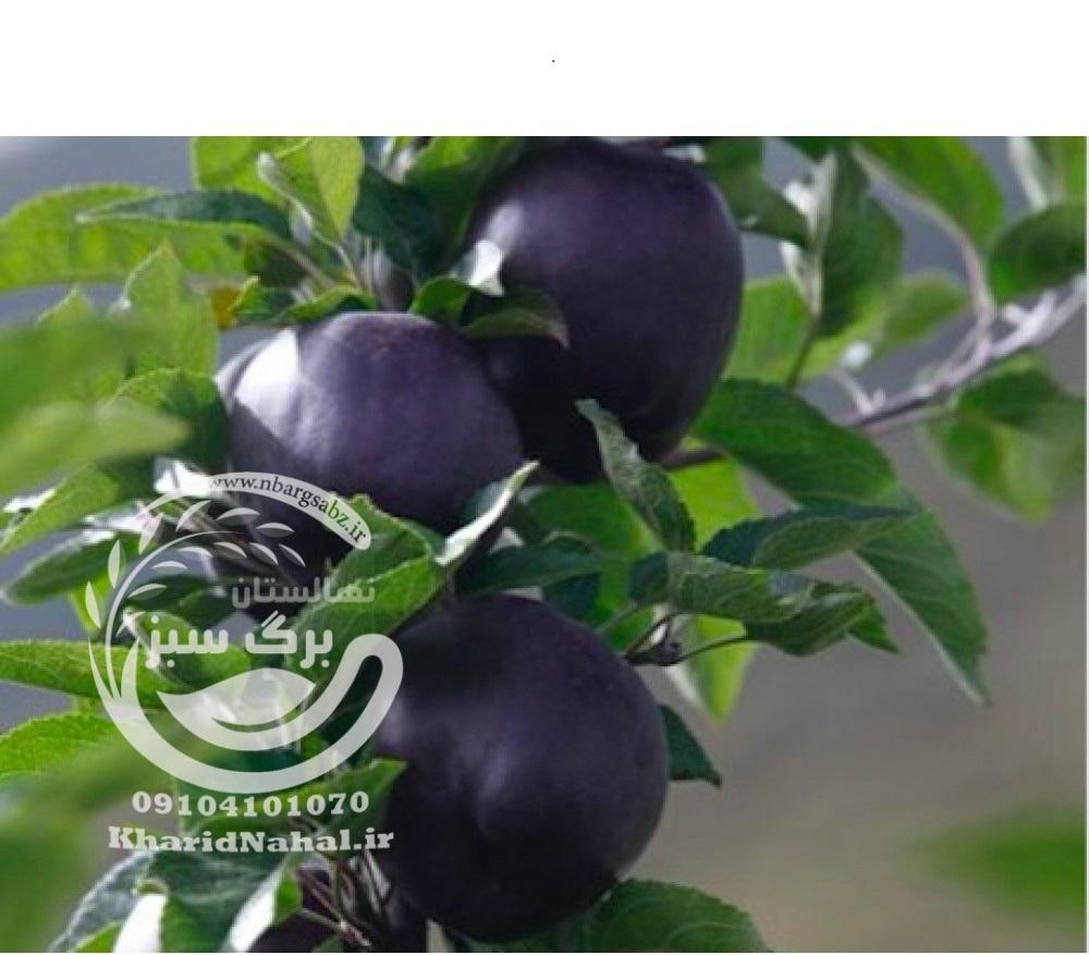 نهال سیب سیاه
