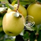 نهال سیب لبنان