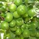 نهال گوجه نخجوان