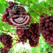 نهال انگور فیلیم سیدلس